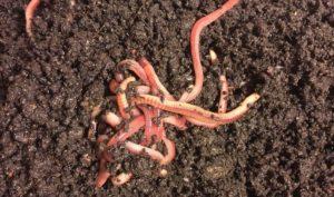 Как дождевой червь производит биогумус