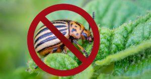 Как избавиться от колорадского жука навсегда?