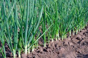 Как посадить лук на зелень