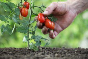 Как правильно пасынковать низкорослые сорта помидоров?