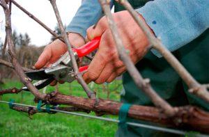 Как правильно проводить обрезку на плодоношение