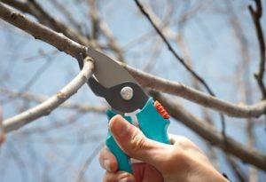 Когда проводить обрезку вишни: сроки