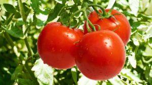 Пасынкование помидор - как правильно формировать куст помидора