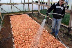 Подготовка севка к вегетации