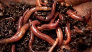 Польза дождевых червей в почве