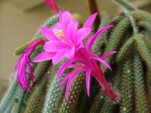 Популярные виды комнатных кактусов для домашнего выращивания
