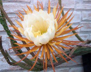Популярные рода кактусов