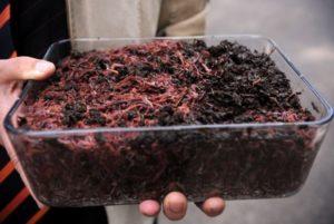Разведение их для производства биогумуса