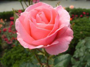 Сорта роз группы Грандифлора