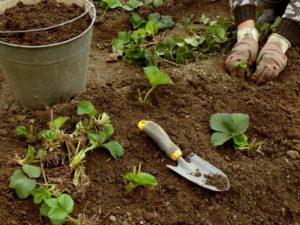 Сроки посадки садовой клубники