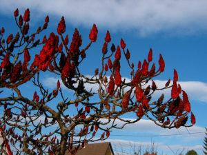 Уксусное дерево: особенности выращивания
