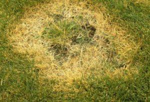 Уход за газонной травой: борьба с болезнями