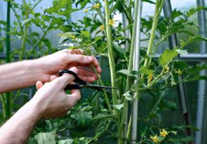 Формирование куста томатов в 1, 2, 3 стебля: как делать?