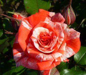 Чайно-гибридные розы