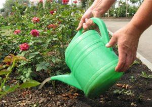 Чем удобрять розы в середине лета