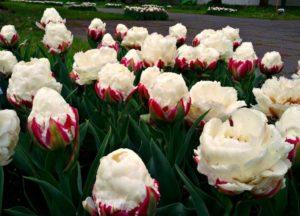 «Поздноцветущие тюльпаны»