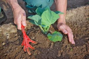 Благоприятное время для посева капусты в теплицу и открытый грунт