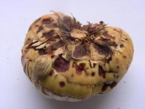 Болезни и вредители гладиолусов