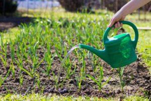 Важность полива для роста луковицы