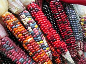 Виды и сорта кукурузы