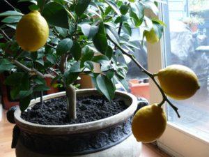 Выбираем сорт, место и землю для лимона домашнего