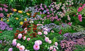 Выращивание астр в саду