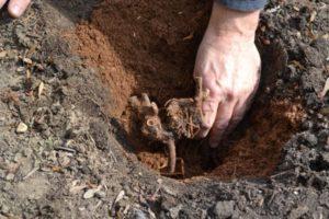Выращивание и уход за пионами