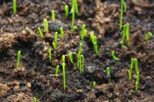 Выращивание лука из семян в домашних условиях