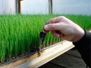Выращивание рассады из семян лука в домашних условиях