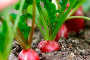 Выращивание редиса