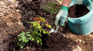 Выращивание роз для новичков