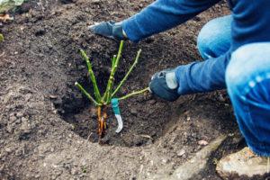 Выращивание роз: посадка