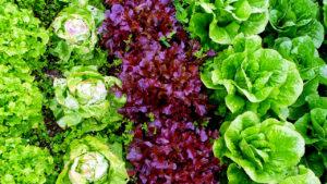 Выращивание салата. Выбор посадочного материала, семян