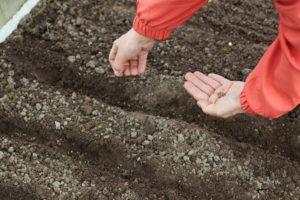 Выращивание свеклы: посев и посадка