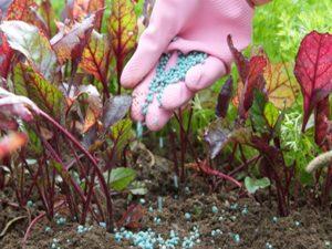 Выращивание свеклы: уход, подкормки
