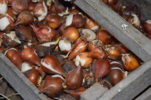 Выращивание тюльпанов: сбор и хранение луковиц