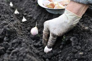 Выращивание чеснока: почва, грядки, севооборот