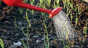 Выращивание чеснока: уход, полив, подкормка