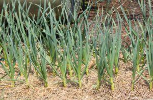 Выращивание чеснока яровых сортов
