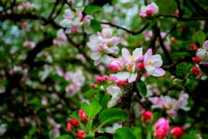 Для чего нужно откапывание в уходе за яблонькой весной?