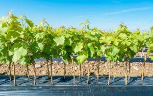 Какие саженцы винограда можно использовать для весенней посадки?