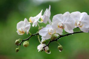 Какой вид орхидей можно выращивать дома?