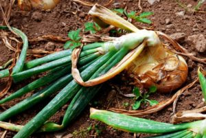 Как бороться с вредителями при выращивании лука?