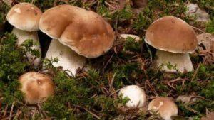 Как вырастить белые грибы