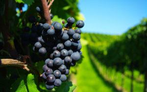 Как вырастить виноград