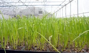 Как вырастить лук в теплице в домашних условиях?