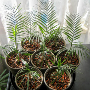 Как вырастить пальму из семян