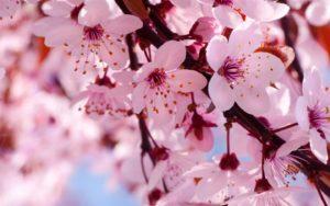 Как вырастить сакуру