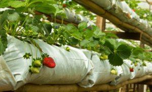 Как выращивать клубнику в мешках?