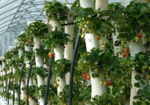 Как выращивать клубнику в трубах?